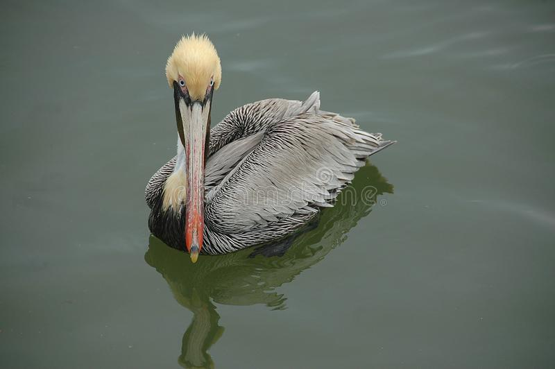 Brown pelikana portret fotografia stock