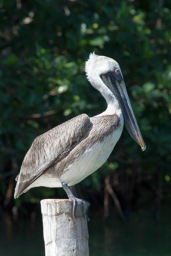 Brown pelikana pozycja na jetty poczta fotografia stock