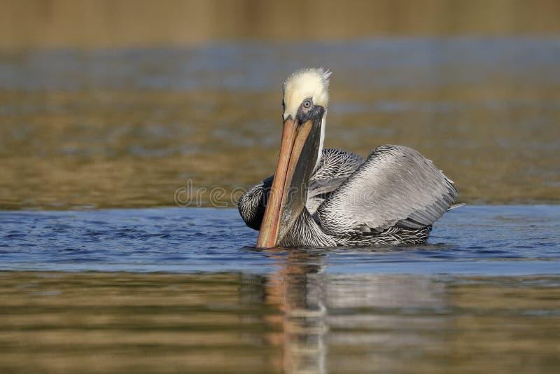 Brown-Pelikanschwimmen auf einem Florida-Fluss lizenzfreie stockfotografie