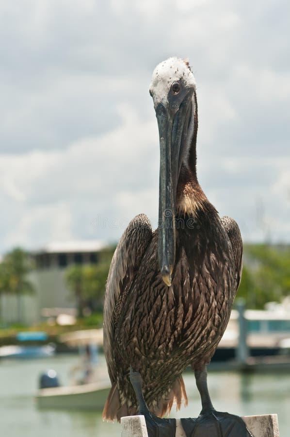 Brown-Pelikanstellung auf hölzerner Anhäufung im tropischen Jachthafen lizenzfreie stockfotos