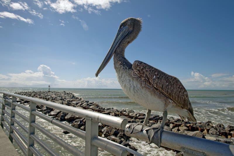 Brown-Pelikanvogel lizenzfreie stockfotografie