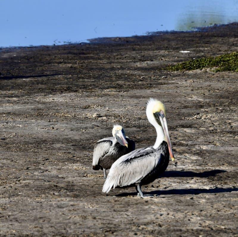 Brown pelikany -1 obrazy royalty free