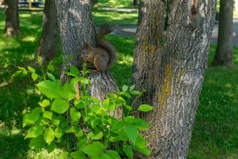Brown-Pelzeichhörnchen isst und schaut vorsichtiges gerades lizenzfreie stockfotografie