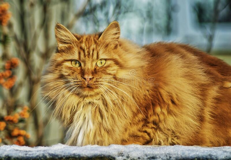 Brown Persian Cat In Selective Lens Photography Free Public Domain Cc0 Image