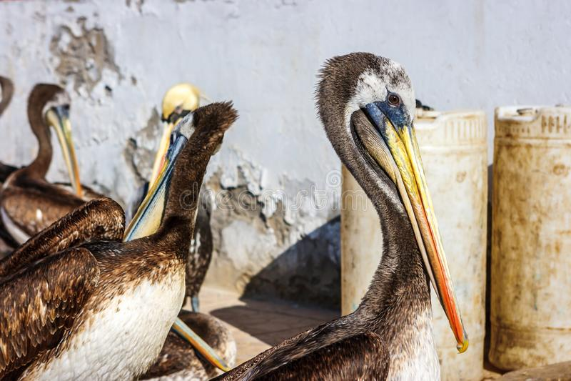 Brown peruvian pelicans in Paracas, Peru royalty free stock photo