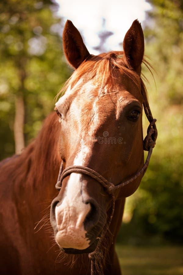 Brown-Pferd stockbild