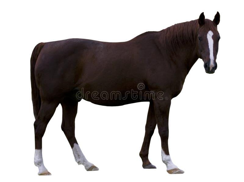 Brown-Pferd stockfoto