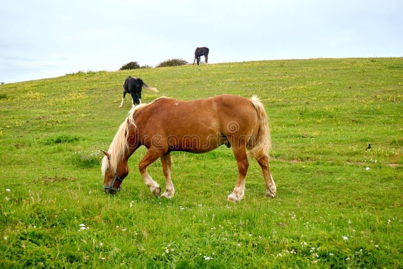 Brown-Pferd auf Wiese stockfotografie