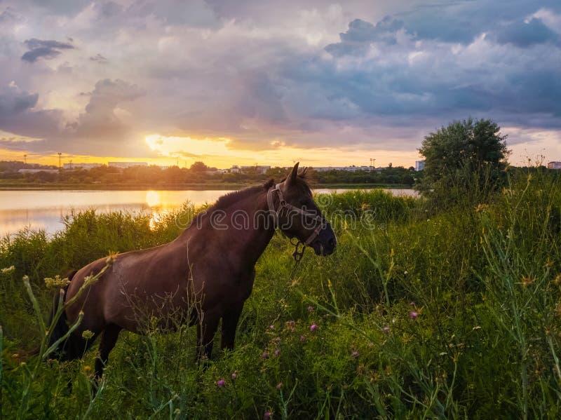 Brown-Pferd, das auf einer grünen Rasenfläche über Sonnenunterganghimmelhintergrund weiden lässt Ländliche Szene mit einem Hengst stockfotografie