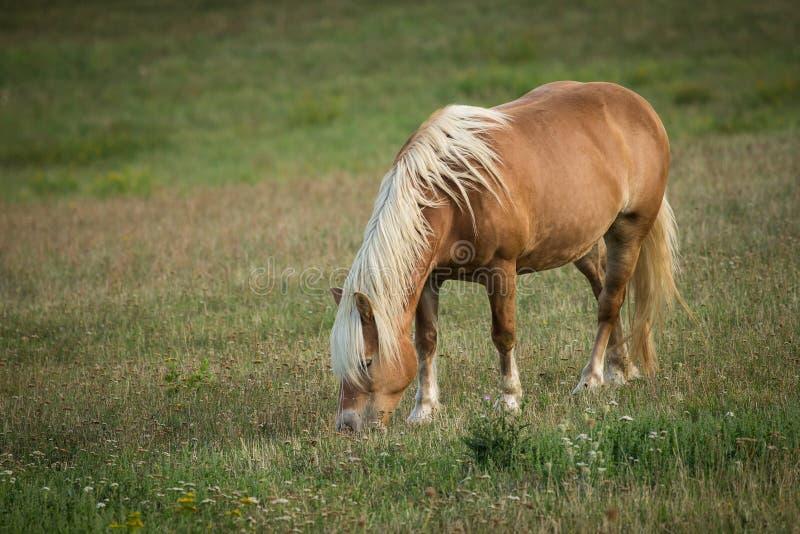 Brown-Pferd, das in der Wiese isst lizenzfreies stockfoto