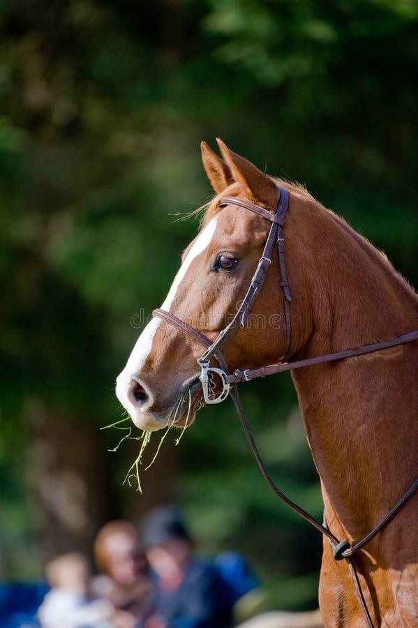 Brown-Pferd, das Gras isst stockbild