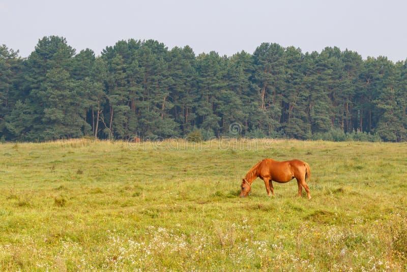 Brown-Pferd lässt auf einer Wiese gegen Waldhintergrund auf einem sonnigen Sommermorgen weiden stockbilder