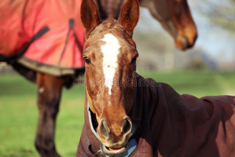 Brown-Pferd mit den weißen Markierungen, die sich hinlegen stockfotografie