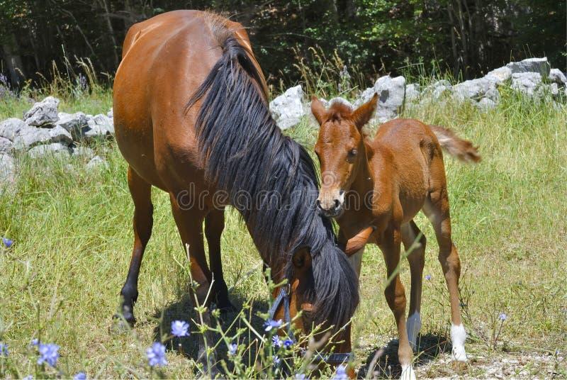 Brown-Pferd mit seinem Fohlen stockfotografie