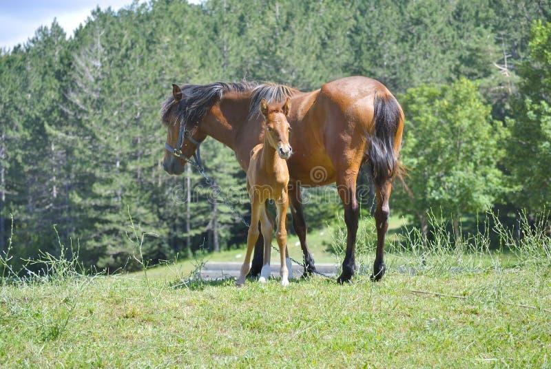 Brown-Pferd mit seinem Fohlen stockbilder