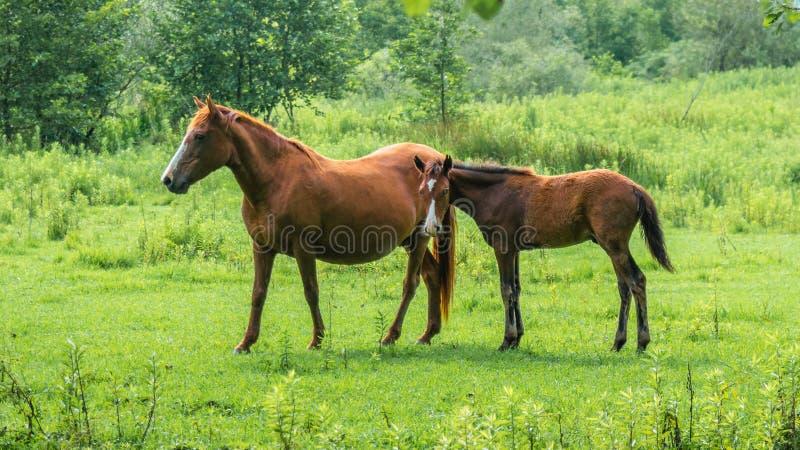 Brown-Pferde auf Weide, Natur, Tierwelt stockfotos