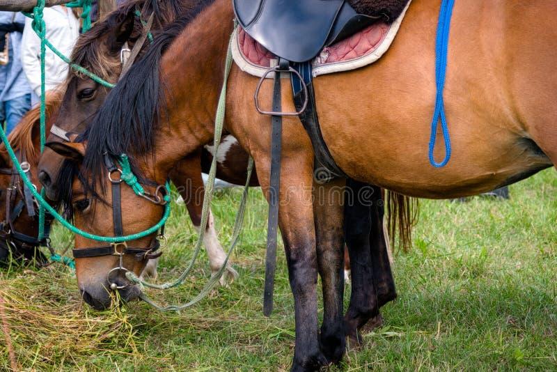 Brown-Pferde, die Gras essen Nahaufnahme des Kopfes Pferdedes essens Gras stockfotos