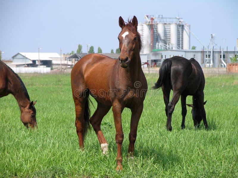 Brown-Pferde, die unweit vom Bauernhof weiden lizenzfreie stockfotos