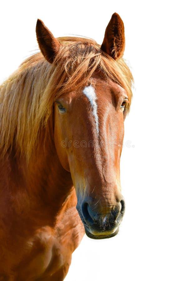 Brown-Pferdekopf lokalisiert auf dem weißen Hintergrund Ein Nahaufnahmeporträt des Gesichtes eines Pferds lizenzfreies stockfoto