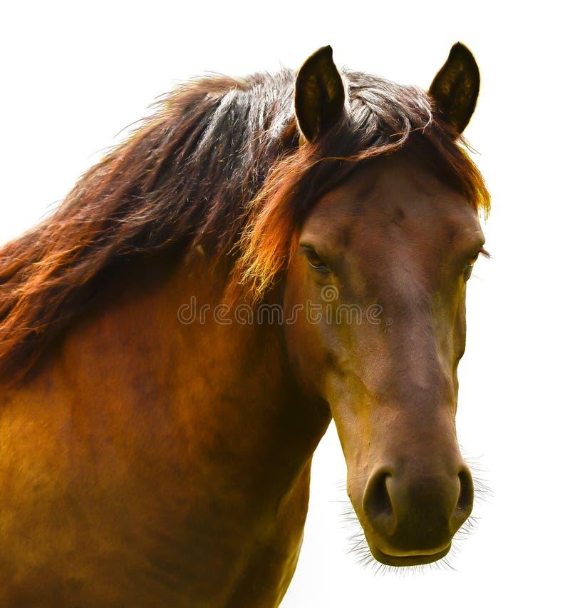 Brown-Pferdekopf lokalisiert auf Weiß Ein Nahaufnahmeporträt des Gesichtes eines Pferds stockbilder