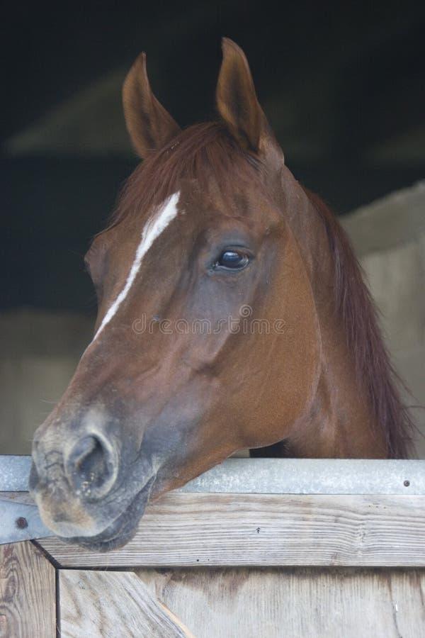 Brown-Pferdenportrait stockfotografie