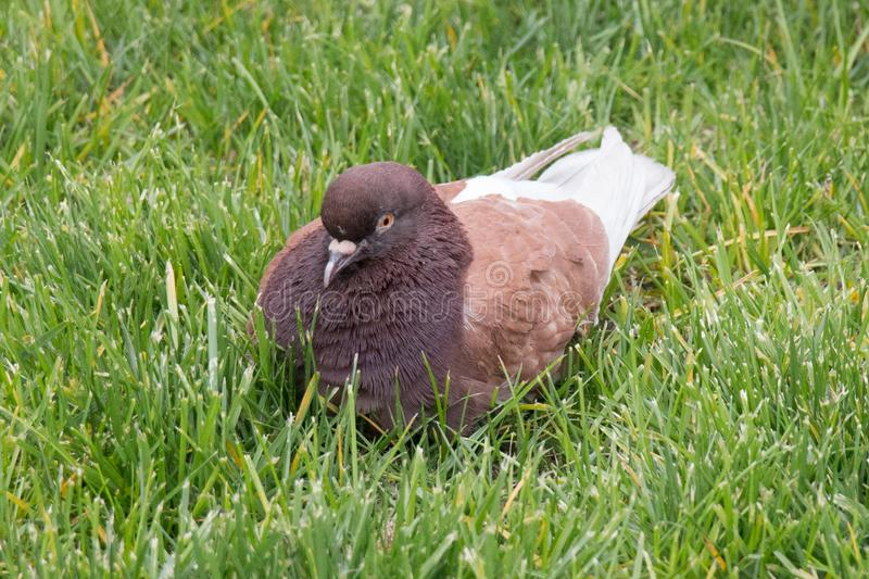 Brown pigeon sitting on the green grass stock photography