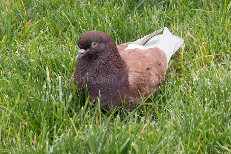 Brown pigeon sitting on the green grass royalty free stock image
