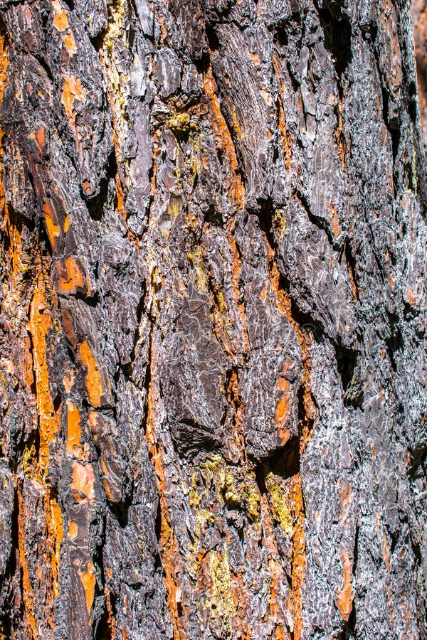 Brown pine bark. Scots pine. Lat. Pínus sylvéstris is a plant, a widespread species of the genus Pine of the Pine family Pinaceae. Grows naturally in royalty free stock image