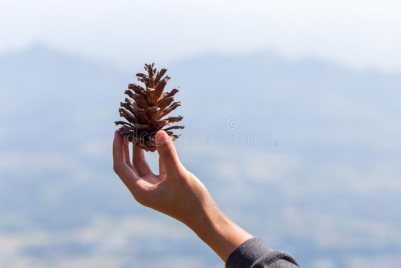 Brown pine cone. Brown pine cone royalty free stock photography