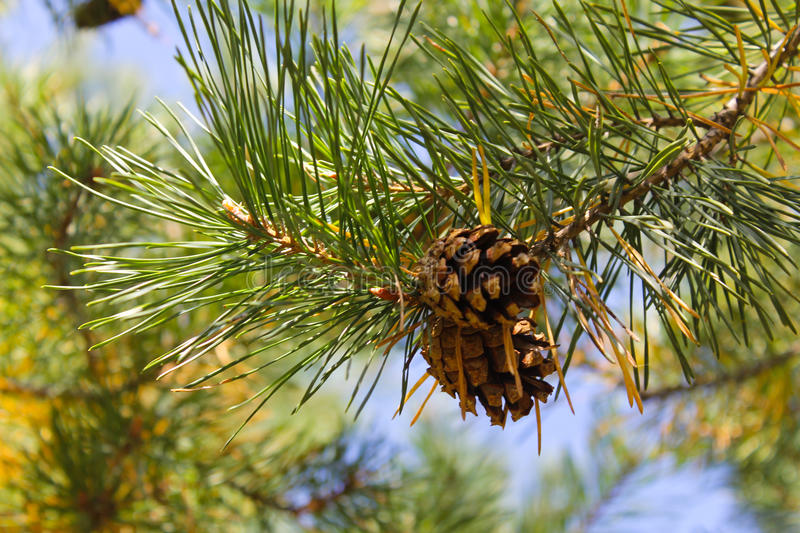 Brown pine cone on a branch. Brown pine cone on the branch stock images