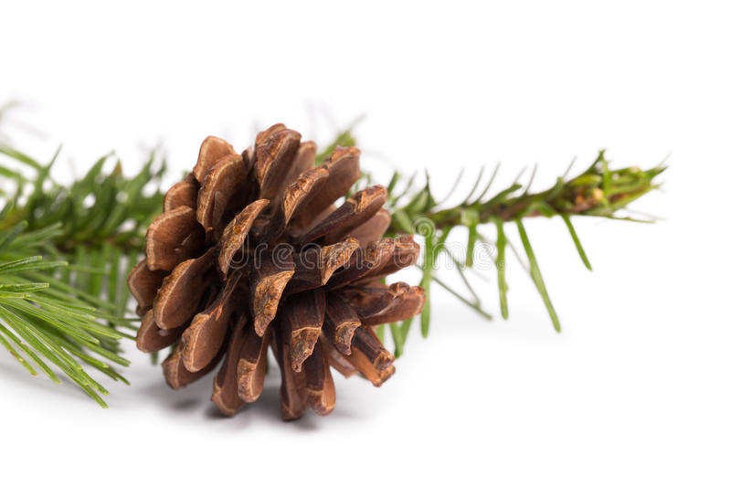 Brown pine cone with fir branch. On white background royalty free stock photo