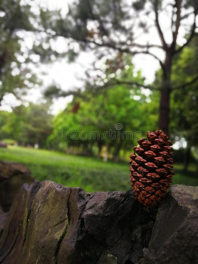Brown pine cone on the green background of the forest stock image