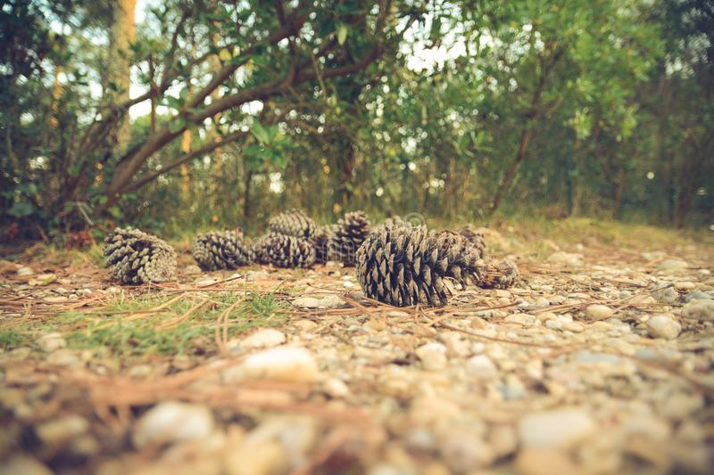 Brown Pine Cones On Brown Stone Ground Free Public Domain Cc0 Image