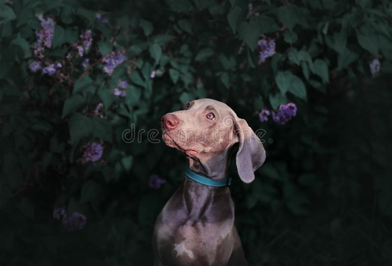 Pointer dog breed Weimaraner in the lilac bushes royalty free stock image