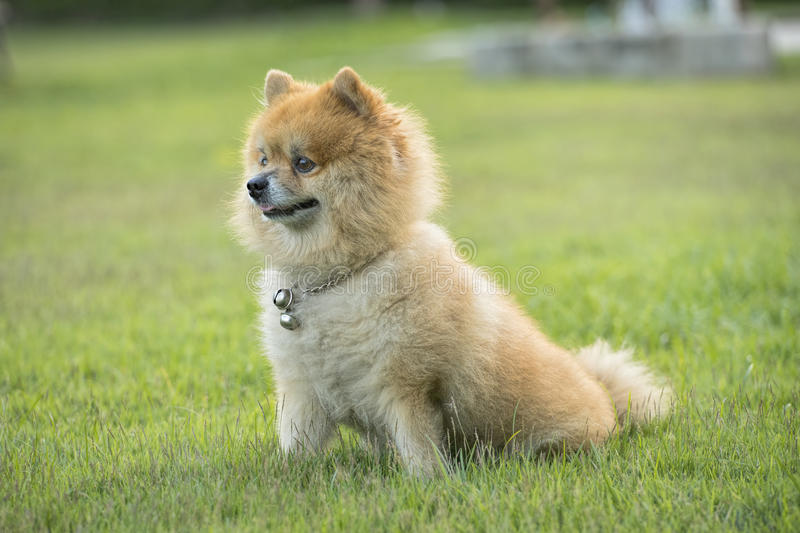 Brown Pomeranian dog is awake royalty free stock photography