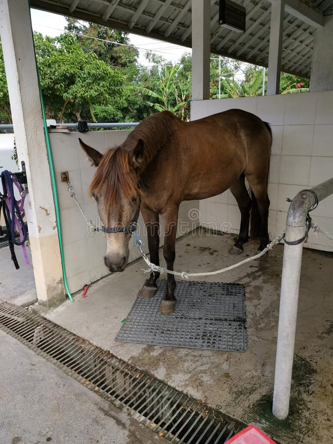 A brown pony chained up in stable royalty free stock images