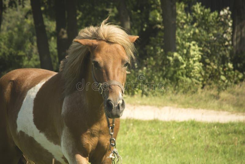 Brown Pony horse stock photo