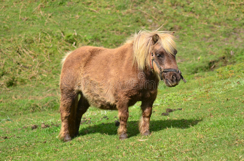 Brown Pony outdoor. In the farm stock photography
