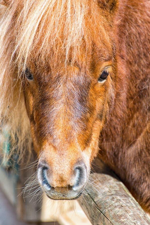 Brown-Pony schaut über der Abgrenzung der Koppel stockbilder