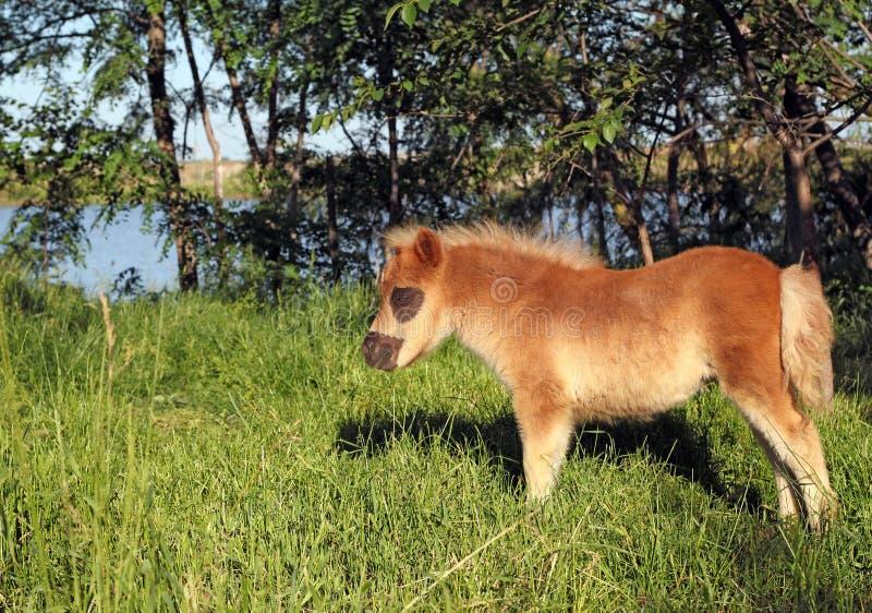 Brown-Ponypferdefohlen lizenzfreie stockbilder