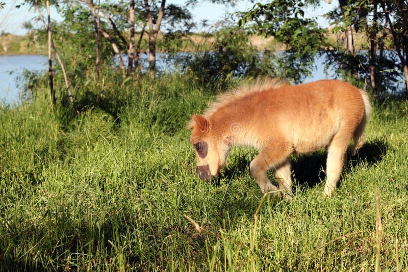 Brown-Ponypferdefohlen lizenzfreies stockfoto