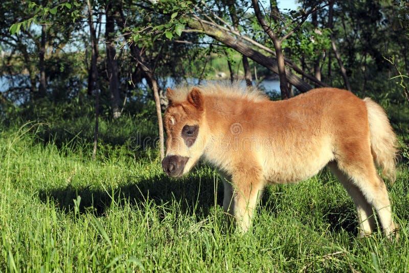 Brown-Ponypferdefohlen auf Weide stockfotografie