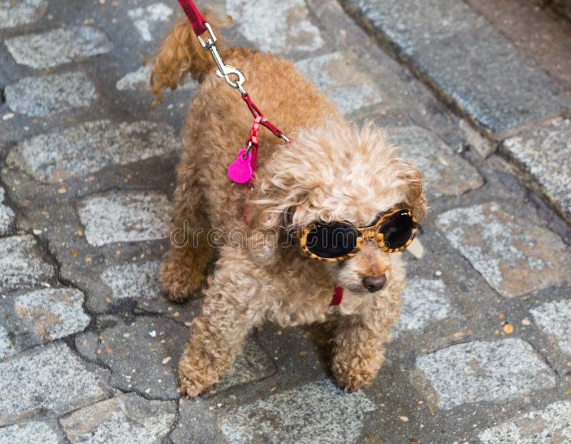 Brown poodle dog with glasse stock photos