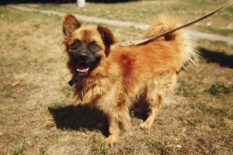 Brown pozytywny śmieszny pies od schronienia z zadziwiającym spojrzeniem pozuje o zdjęcie stock