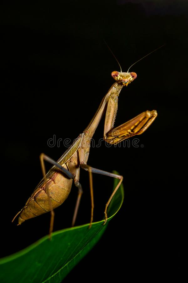 Brown Praying Mantis In Close-up Photography stock image