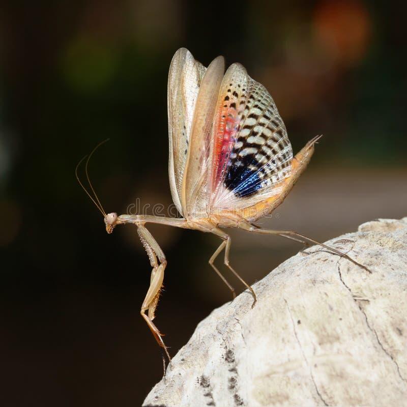 Brown praying mediterranean mantis show her wings royalty free stock photos