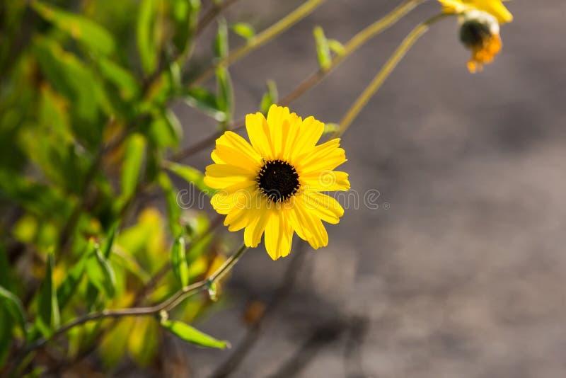 Brown przyglądał się susans żółci kwiaty r dzikiego wzdłuż ścieżki obraz stock
