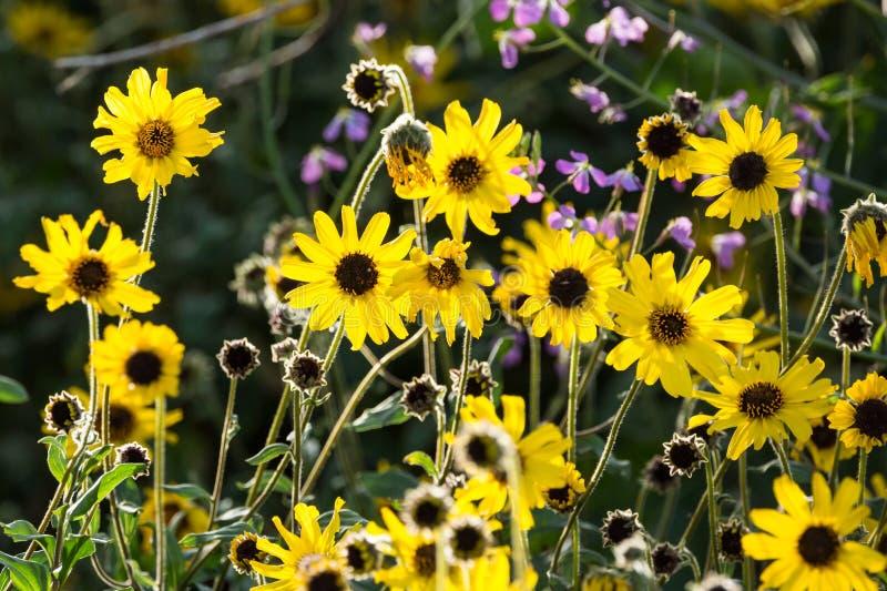 Brown przyglądał się susans żółci kwiaty r dzikiego wzdłuż ścieżki obraz royalty free