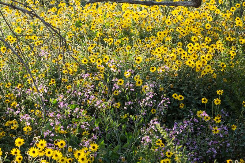 Brown przyglądał się susans purpury i żółci kwiaty r dzikiego wzdłuż ścieżki obrazy royalty free