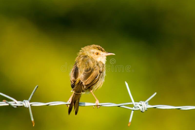 Brown ptak obraz stock